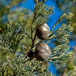 A picture of White Cypress Pine leaves & cones.