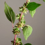 Asthma Plant Leaves, Stem and Flowers.