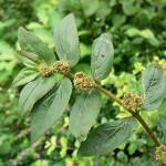 Chamaesyce hirta (Spurge) Leaves, Stem & Flowers
