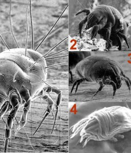 4 Common Allergenic Dust Mite Species